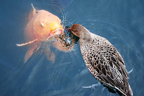 鯉と鴨の戦い01