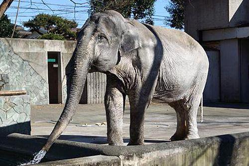 井の頭自然文化園(東京都武蔵野市)の象「はな子」
