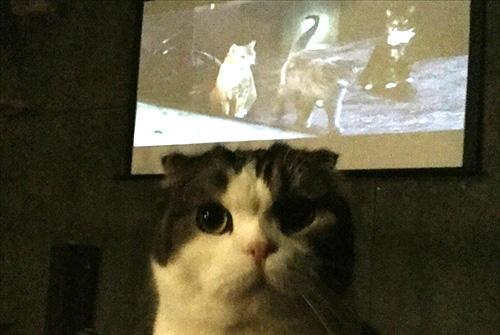 吉祥寺ねこ祭りの「猫だらけ映画上映会」