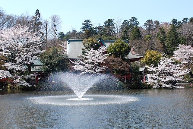 井の頭公園・弁財天の桜