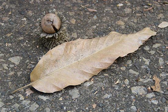 クヌギのドングリと落ち葉